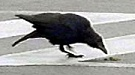 crows using tools